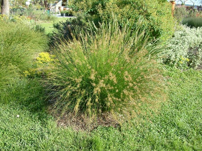 Plant photo of: Sesleria autumnalis
