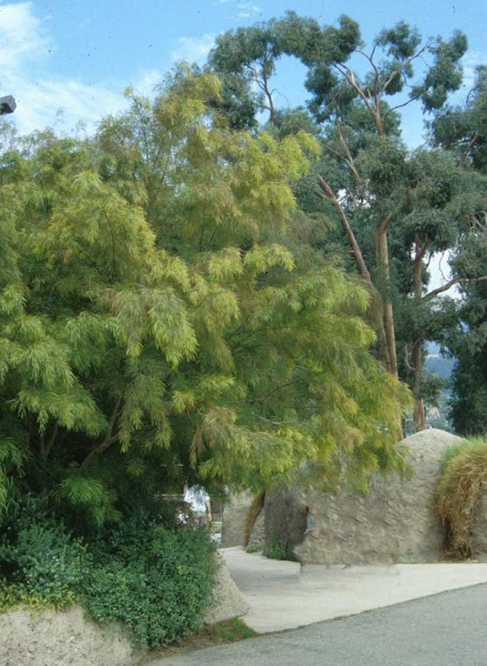 Plant photo of: Acacia cognata
