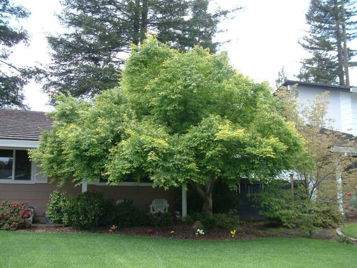 Plant photo of: Acer palmatum 'Beni Kawa'