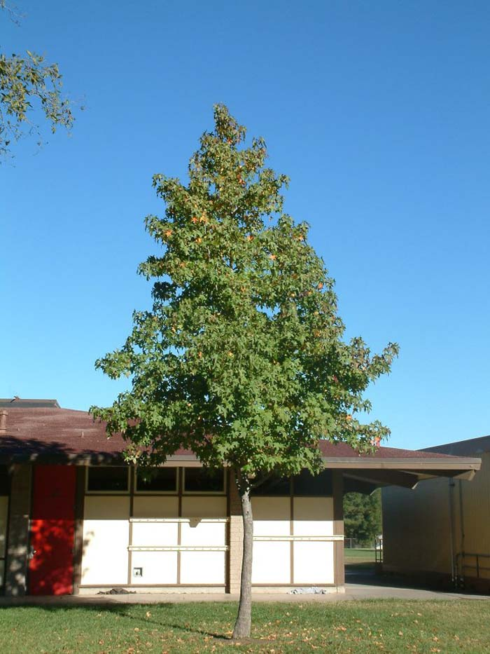 Plant photo of: Liquidambar styraciflua 'Burgundy'
