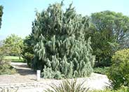 Juniperus scopulorum 'Tolleson's Weeping