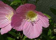 Siskiyou Mexican Evening Primrose